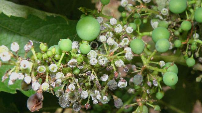 Мучнистая роса на винограде