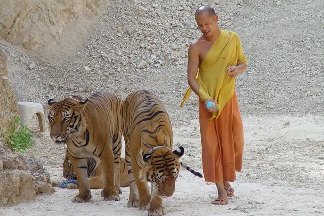 Монах и тигры вместе идут в каньон