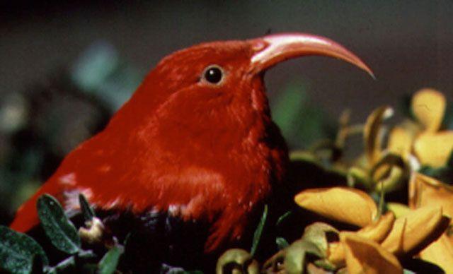 Чёрно-алая гавайская цветочница (Vestiaria coccinea)
